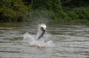 Is there a better species of sport fish than the tarpon, I don't think so.