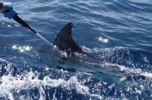 TAGGING A STRIPED MARLIN