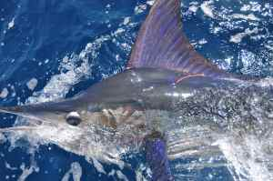 TAGGED STRIPED MARLIN