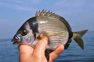 TWO BANDED BREAM