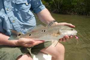 One of many multi-spotted redfish