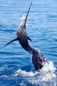 A SAILFISH TAKES TO THE AIR