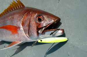 Rosy Jobfish caught on Shimano Butterfly Jig