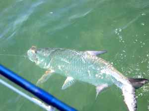 A big fly caught Keys tarpon at the boat