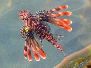 Lionfish swimming around the dock at Linene Island
