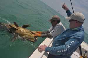 Capt Jim Wilcox releases Andrew Leaves big Goliath Grouper