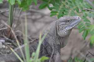 One of the locals, a blue iguana