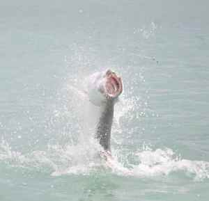 Hook up! Terry's first tarpon of the trip takes to the air.