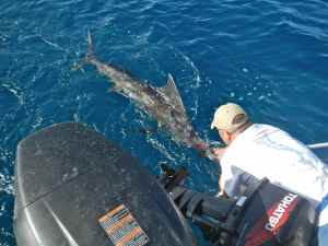 Reviving a good sailfish, its worth spending ten or fifteen minutes to fully revive these world class sports fish before release