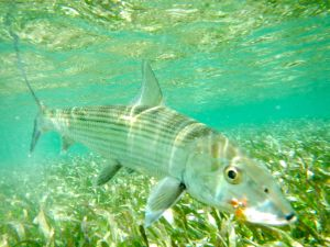 THE NUMBERS OF BONEFISH YOU CAN CATCH ON FLY DURING A WEEK IN BELIZE IS TRULY AMAZING