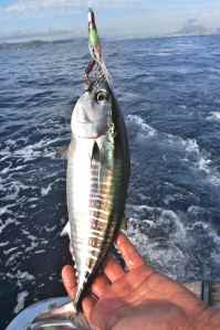 BABY BLUEFIN TUNA CAUGHT OFF JAVEA; MONSTERS ARE CAUGHT THROUGHOUT THE SUMMER MONTHS