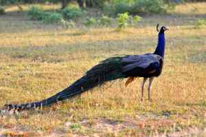 WILD PEACOCK ARE EVERYWHERE, INVARIABLY YOUR EARLY MORNING ALARM CALL!