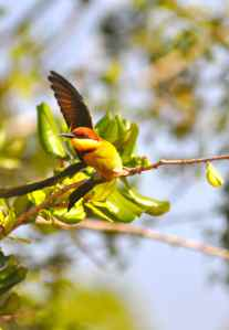 BEAUTIFUL CHESNUT HEADED BEE EATER AT YALA