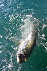 Tarpon, the ultimate light tackle gamefish
