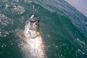 A nice tarpon is brought to the boat, note the circle hook