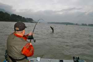 Frazer River sturgeon are about as close as you are going to get to tarpon in BC; a superb, hard fighting sporting fish.