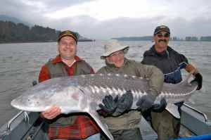 Another very big sturgeon from the Frazer River