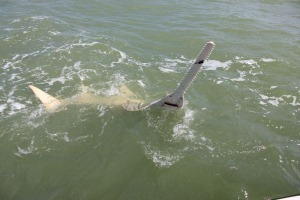 One of several big sawfish caught this year
