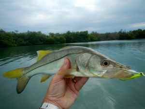 Fly caught snook