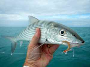A nice Belize bonefish caught on a heavy 'Gotcha' variant.