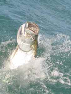 Tarpon, the worlds number one inshore species of sport fish.
