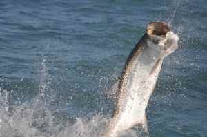 Nicaragua certainly ranks within the the worlds top three tarpon destinations.