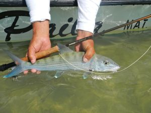 Another great bonefish caught with Capt Eduardo Gomez