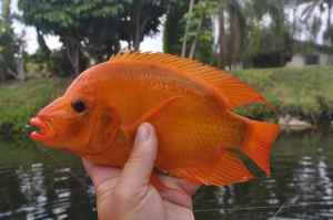 A Midas cichlid, one of several 'alien species'  common throughout the system