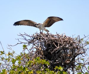 Without a doubt the best fishermen in The Keys; an osprey!
