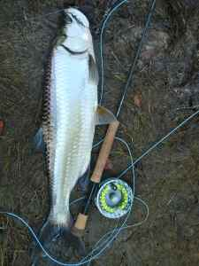Near 10lb of fly caught tarpon, outstanding sport on a fly rod
