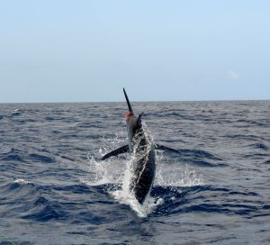 Big blue marlin are caught off Gran Canaria, along with La Gomera and other islands.