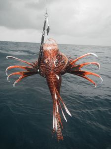 Venomous Lion fish caught on a Shimano jig, these are now widespread throughout the Caribbean.