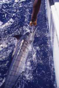 A small blue marlin caught in the early morning after a nights sword fishing over the North Kenya Banks