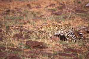 Who says leopards only hunt in darkness!