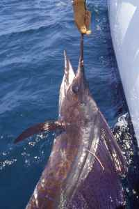 Tagged sailfish ready for release, Kenya is one of the worlds great sailfish destinations, I have caught as many as 16 in a single days fishing there.