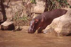 One of countless hippo we encountered on the Rufiji River, SelousGame Reserve, Tanzania