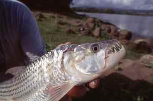 Few fish can rival a tigerfish in the tooth department