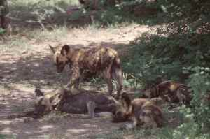 Africa's most endangered carnivore, the Wild Dog. The Selous is one of their last strongholds.