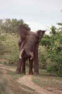 The young bull elephant that charged us, almost 20 years later I can still hear it.