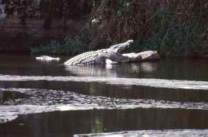 Best to keep an eye open for crocs, they grow big at Murchison Falls